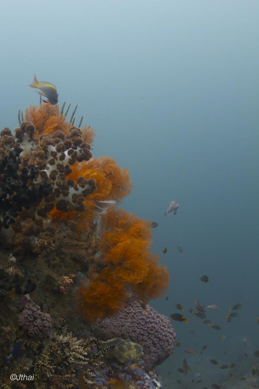 Coral Ferns