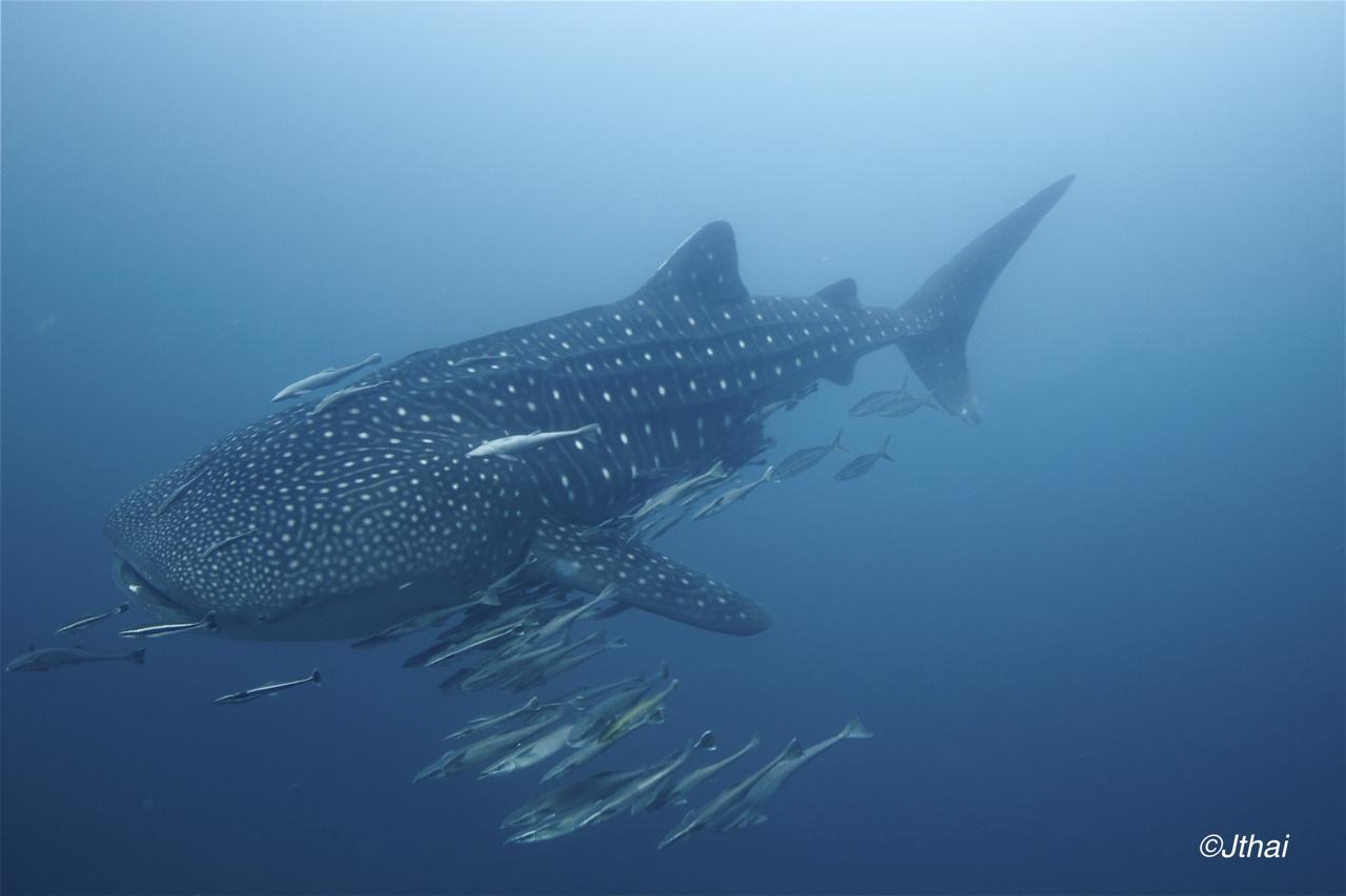 Triton Bay Whaleshark