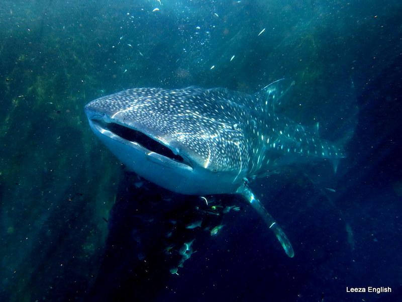 Whale Shark Triton Bay