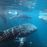 Charlies Whale shark encounter