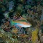 Flasher wrasse by Lilly