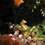 Pontohi Pygmy Seahorse 3